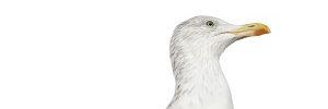 Gulls – Nest / Egg Management
